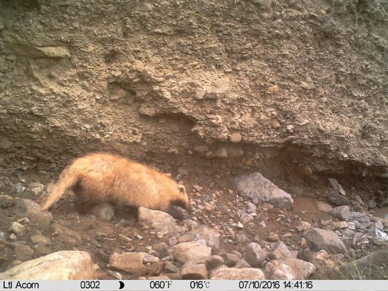 盐池湾保护局利用红外线相机发现新物种狗獾