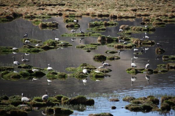 成群的斑头雁在沼泽湿地中
