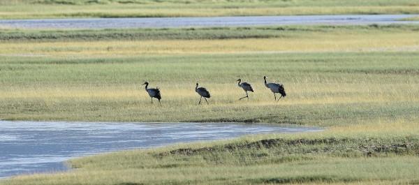 黑颈鹤迁徙